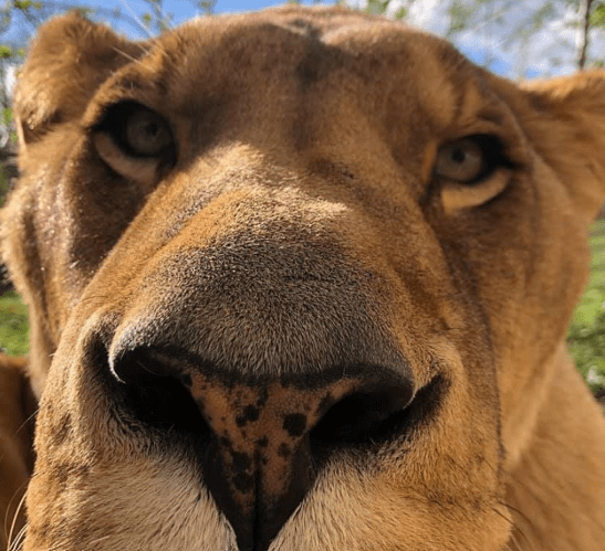 Dental surgery carried out on a lion using revolutionary new regional anaesthesia device